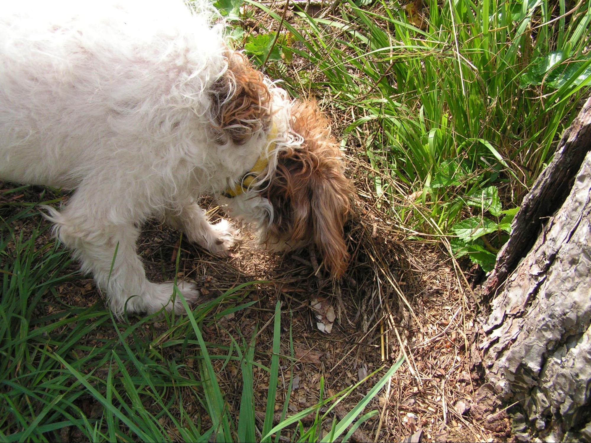 cane trova tartufo